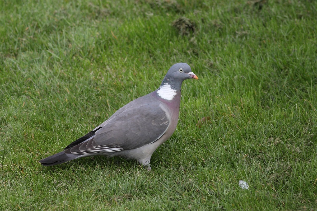 Ring Tailed Dove